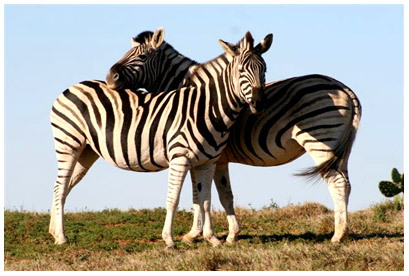 animals-zebra.jpg